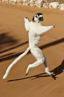 Photograph - Dancing Sifaka 2 by Michele Burgess