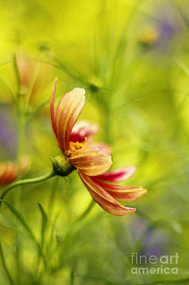 Tickseed Photograph - Dancing Solo by Darren Fisher