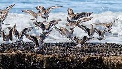 Sandpiper Digital Art - Dancing Surfbirds by Thomas Kaestner
