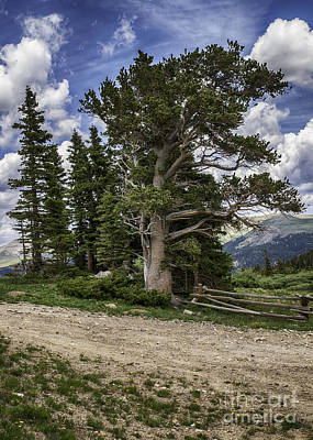 Photograph - Dancing Trees  by Bitter Buffalo Photography