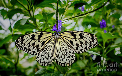 Large Tree Nymph Photograph - Dancing With Butterflies by Jon Burch Photography