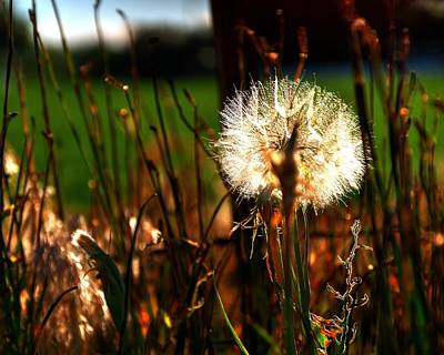 Photograph - Dandelion 15759 by Jerry Sodorff