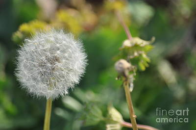 Photograph - Dandelion 2 by Affini Woodley