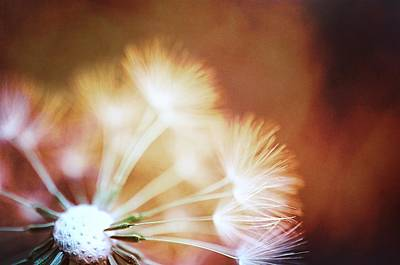 Wall Deco Photograph - Dandelion - Fire by Marianna Mills