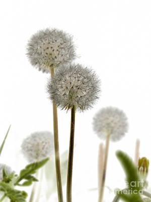 Dandelion Digital Art - Dandelion Abstract by Elizabeth Debenham