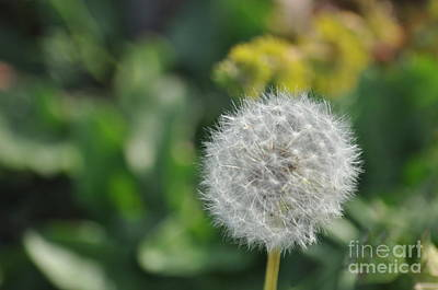 Photograph - Dandelion by Affini Woodley
