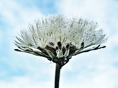 Photograph - Dandelion After Rain by Marianna Mills