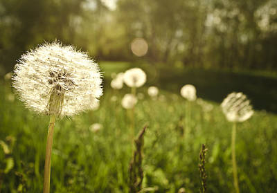 Dandelion Basking In The Sun Art Print