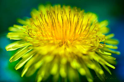 Yellow Photograph - Dandelion Bloom  by Iris Richardson