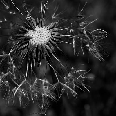 Photograph - Dandelion Burst by Ernie Echols