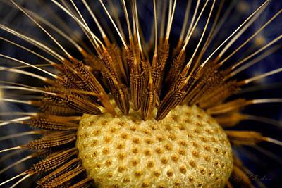 Ns Photograph - Dandelion Burst by Iris Richardson