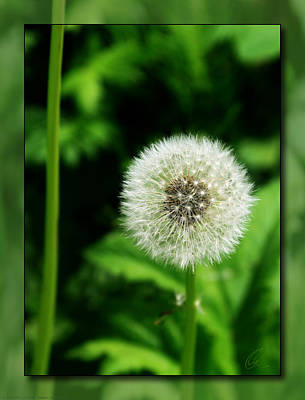 Photograph - Dandelion by Chris Thomas