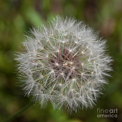 Photograph - Dandelion Clock by Diane Macdonald