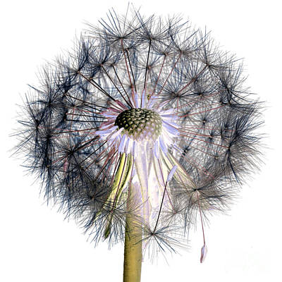 Photograph - Dandelion Clock No.1 by Tony Mills