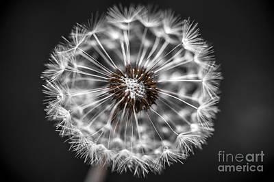 Photograph - Dandelion Closeup by Elena Elisseeva