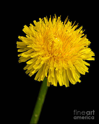 Photograph - Dandelion Cradling The Water Drop by Mark Dodd