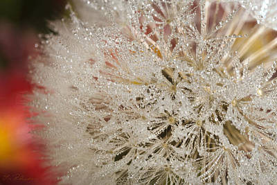 Blume Photograph - Dandelion Crystals by Iris Richardson