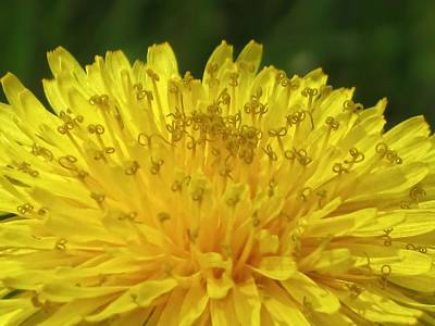 Photograph - Dandelion Curls by MTBobbins Photography