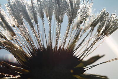 Photograph - Dandelion Dew by Alicia Knust