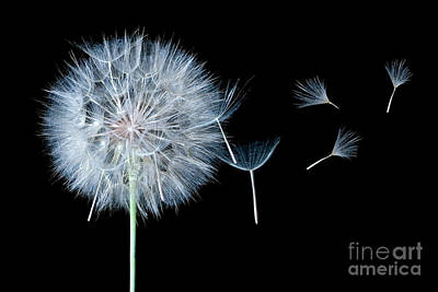 Of Artist Photograph - Dandelion Dreaming by Cindy Singleton