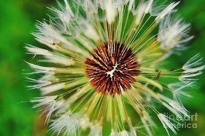 Photograph - Dandelion Dreams by Peggy Franz