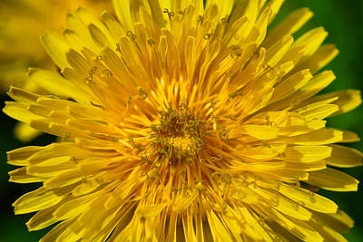Photograph - Dandelion Effect by Emily Stauring