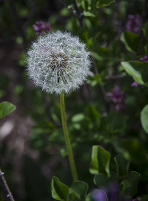 Photograph - Dandelion by Eric Miller