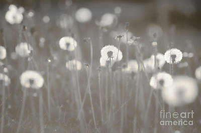 Photograph - Dandelion Field - Silver by Jim And Emily Bush