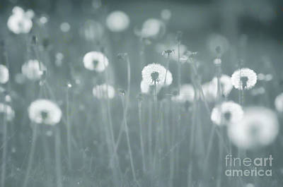 Photograph - Dandelion Field - Teal by Jim And Emily Bush