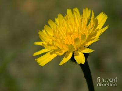 Photograph - Dandelion Flower by Andrea Anderegg