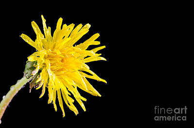 Photograph - Dandelion Flower Closeup by Kennerth and Birgitta Kullman