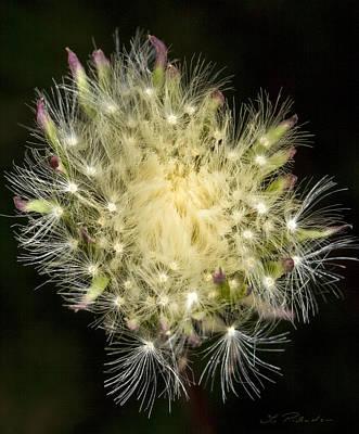 Ns Photograph - Dandelion Flower by Iris Richardson