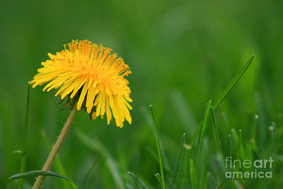 Photograph - Dandelion Flower by Karen Adams