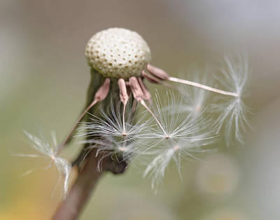 Photograph - Dandelion Flower Macro by Jennie Marie Schell