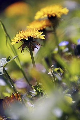 Photograph - Dandelion Flower by Selke Boris