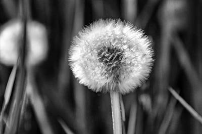 Flower Photograph - Dandelion Fluff Black And White by Donna Doherty