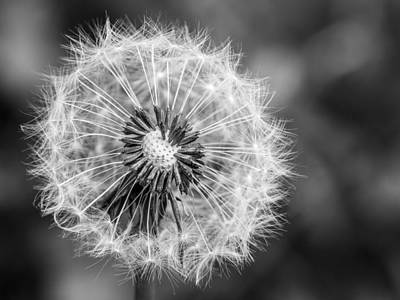Photograph - Dandelion by Gary Gillette