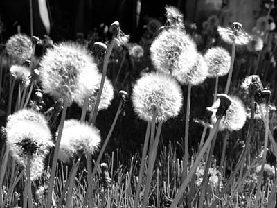 Photograph - Dandelion Group by Tarey Potter