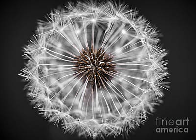 Photograph - Dandelion Head Closeup by Elena Elisseeva