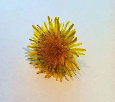 Photograph - Dandelion II by Anna Villarreal Garbis