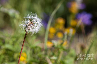 Photograph - Dandelion In Meadow by Cindy Singleton