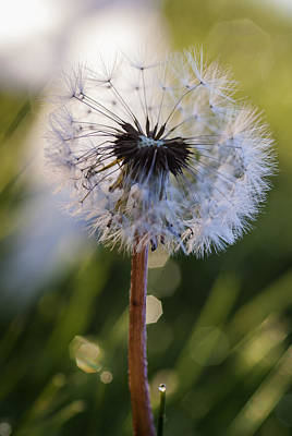 Photograph - Dandelion In Nature by Vishwanath Bhat