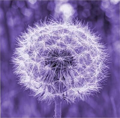 Photograph - Dandelion In Purple by HW Kateley