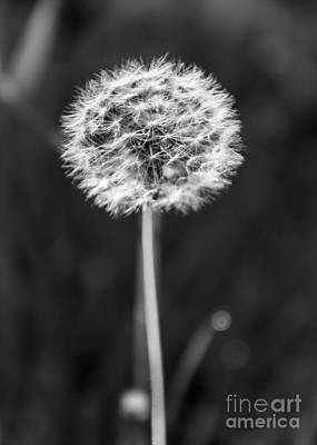 Photograph - Dandelion In The Sun by CJ Benson
