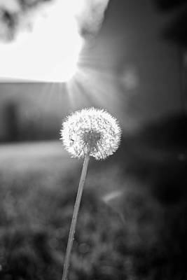 Photograph - Dandelion In The Sun by Nathan Hillis