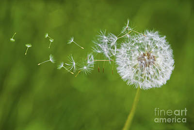 Dandelion In The Wind Art Print by Diane Diederich