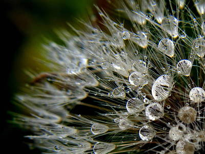 Photograph - Dandelion Jewels by Suzy Piatt