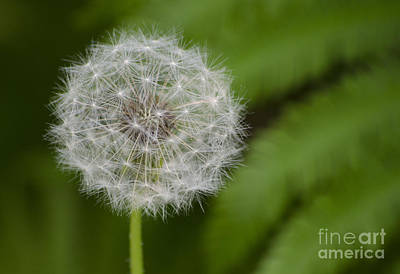 Art Print featuring the photograph Dandelion by JRP Photography