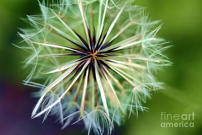 Photograph - Dandelion by Judi Bagwell