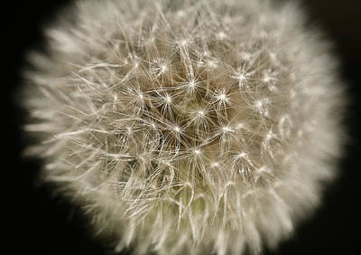 Photograph - Dandelion by Kim Aston